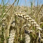 blé de la ferme aux cailloux